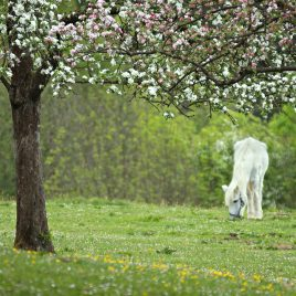 Orchard and Stallion, Bavaria