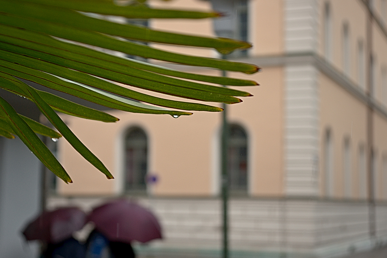 Click to enlarge: Rain on Palm Leaves