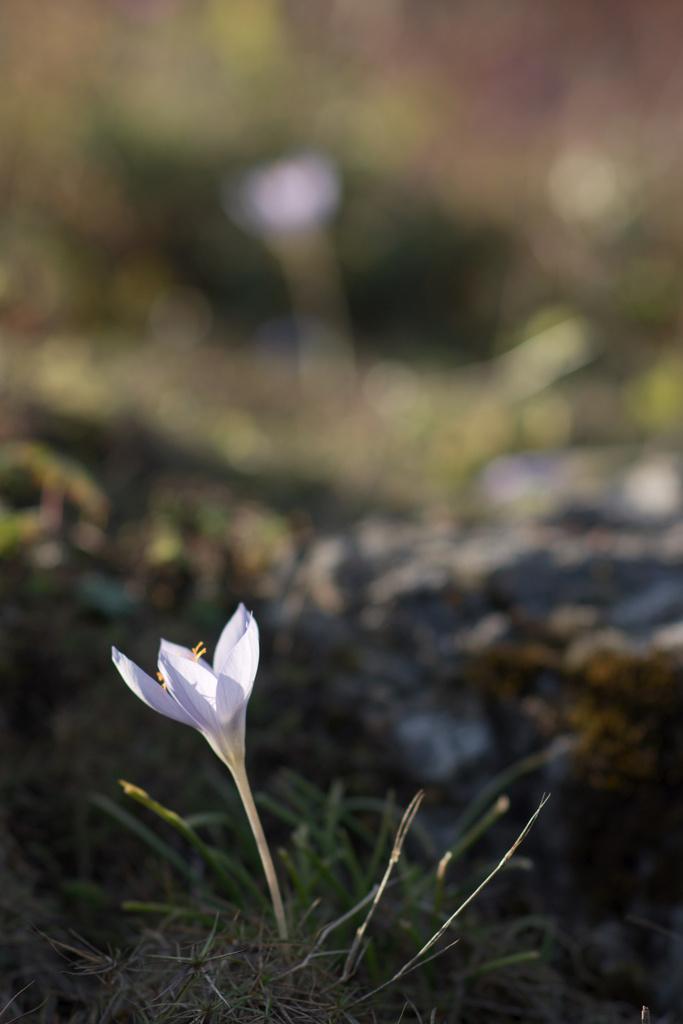 Click to enlarge: Meadow Saffron