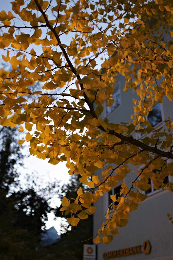 Click to enlarge: Golden Gingko [f/2, 1/60 sec, 28mm, ISO 800, Sony A700]