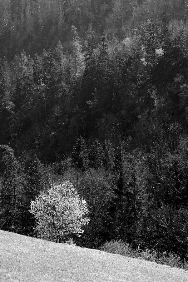 Wild Cherry Tree, Kugelbachbauer, Bad Reichenhall, Bavaria, Landscape, Black & White