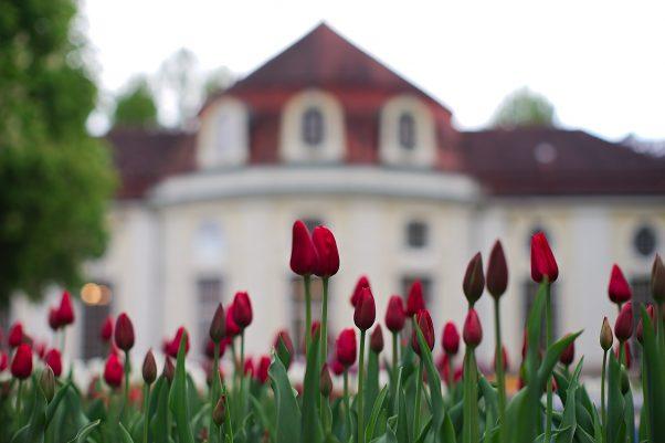 Tulips, Spa Garden, Bad Reichenhall, Bavaria, Germany, Red, Urban, Flower