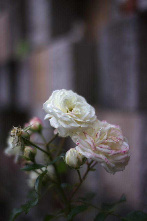 All Saints Day Rose, St. Zeno Cemetary, Bad Reichenhall, Status