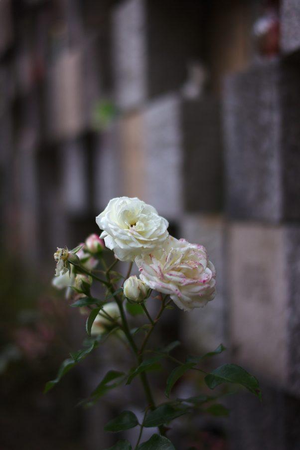 November Rose, St. Zeno Cemetery, Bad Reichenhall, Urban