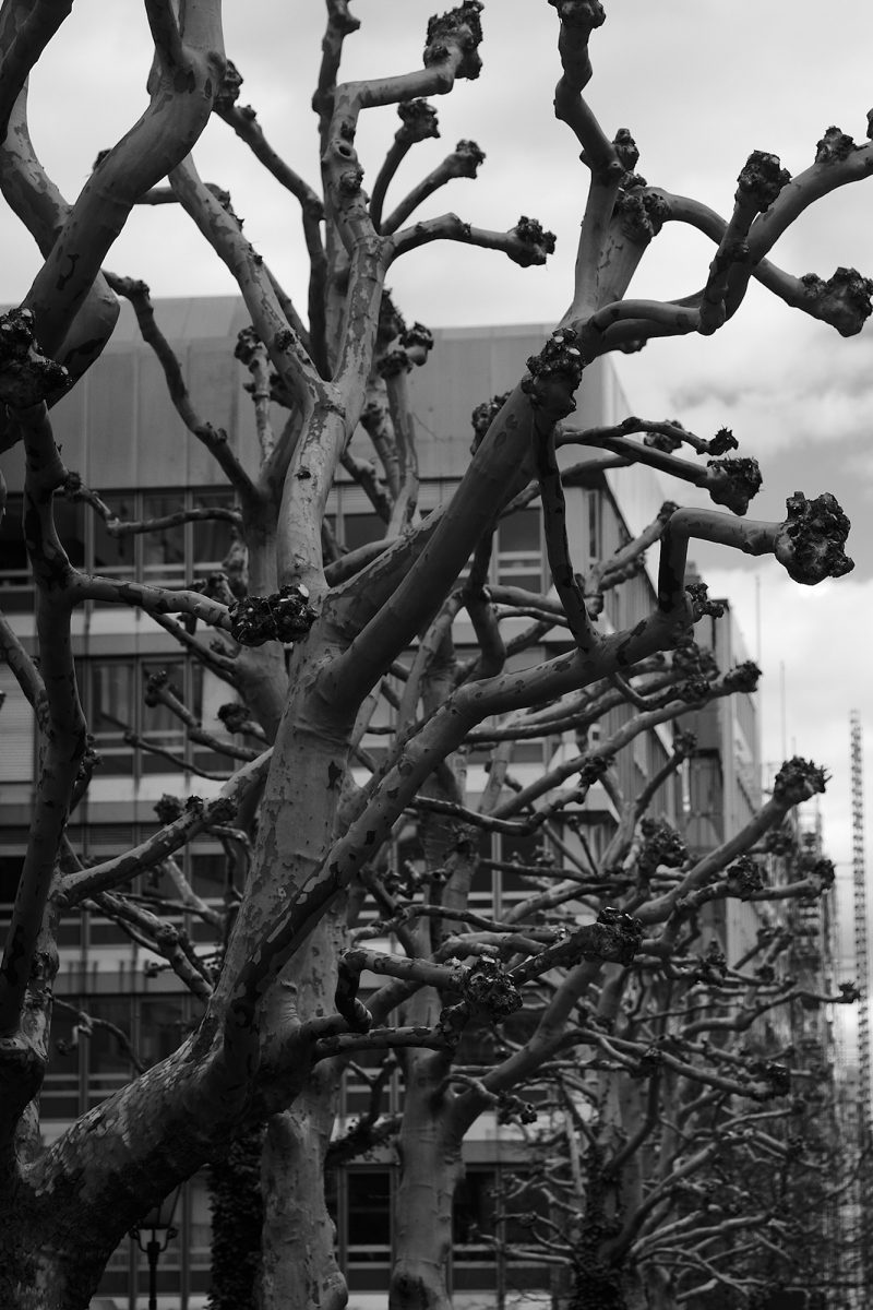 Bare Sycamores, Arnulfstr., Munich, Black & White, City Trees, Urban