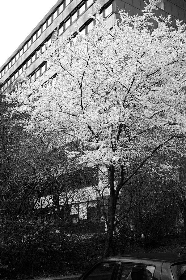 First Cherry Blossoms, Deroystr., Munich, Black & White, Urban