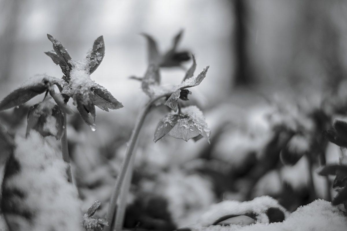 Helleborus_in_late_Snow.jpg