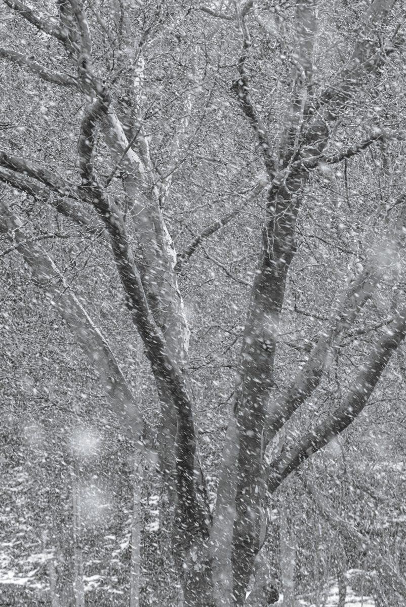 Tree in heavy snowfall. Heilingbrunnerstraße, Bad Reichenhall