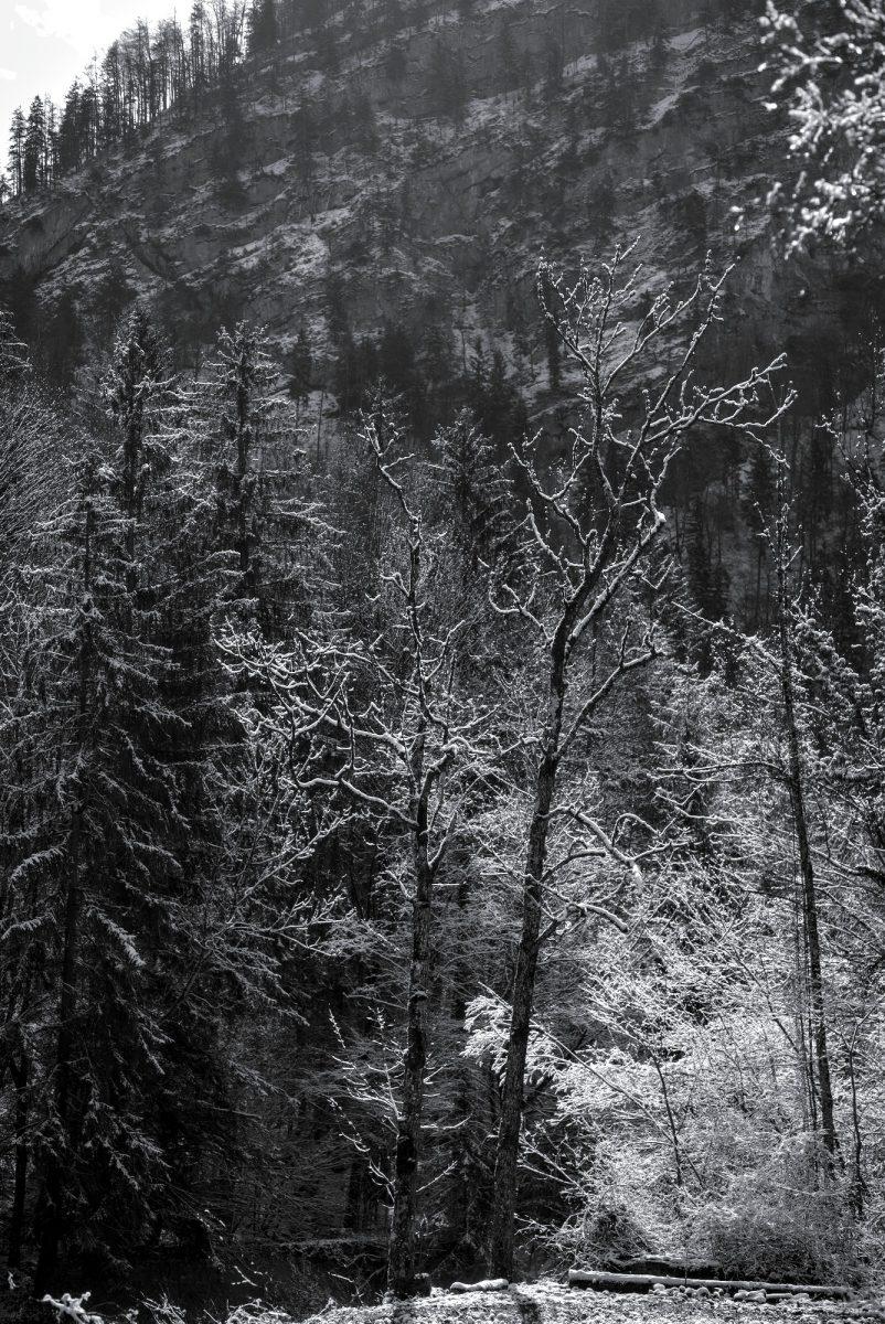 Old_Maple_Trees.jpg