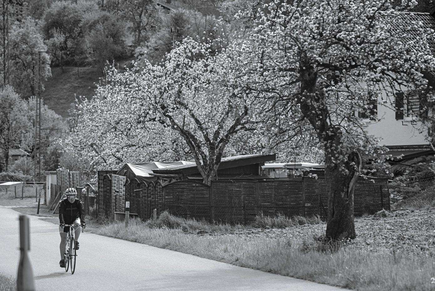 Apple_Trees_along_the_Road.jpg
