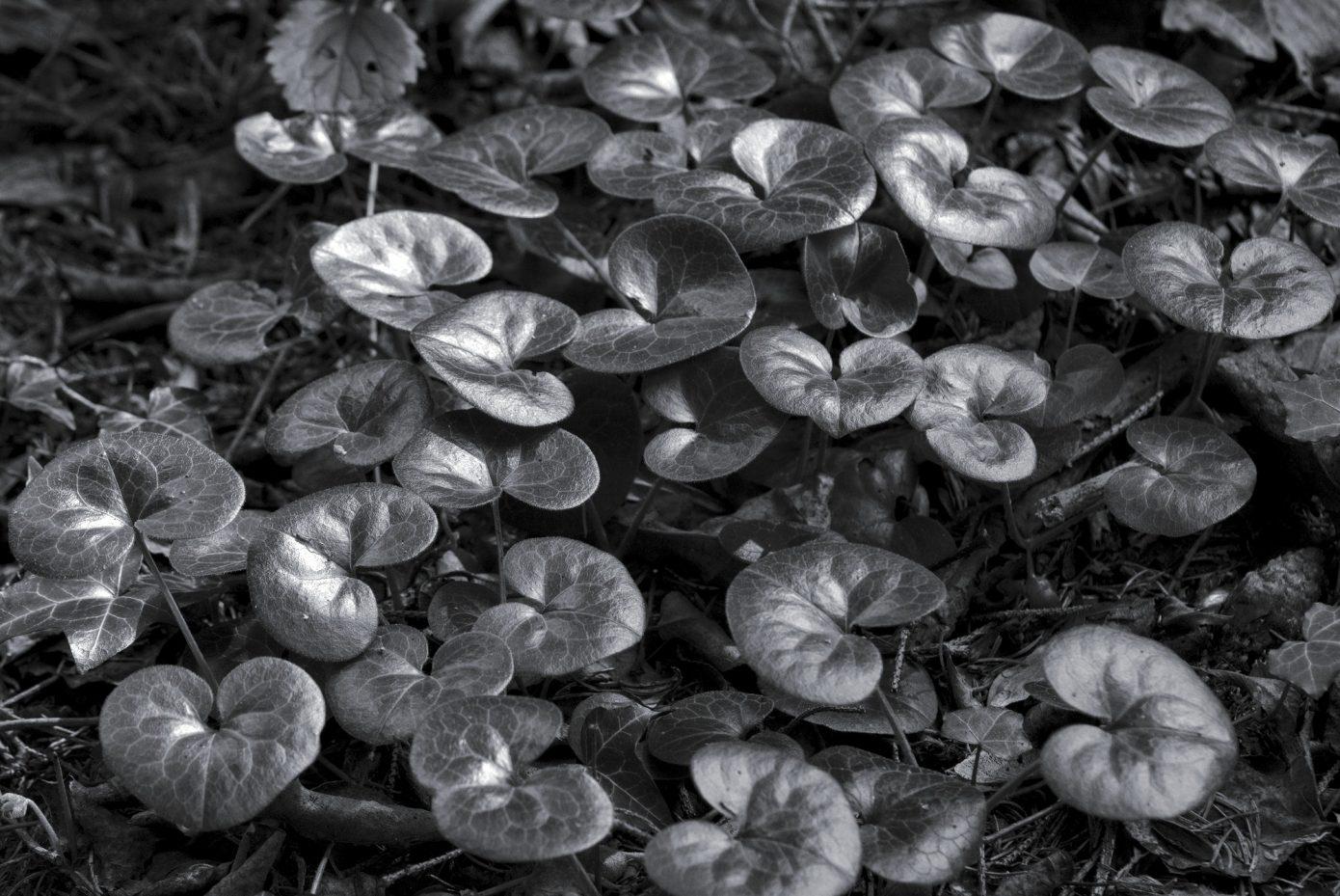 Cyclamen_Nest.jpg