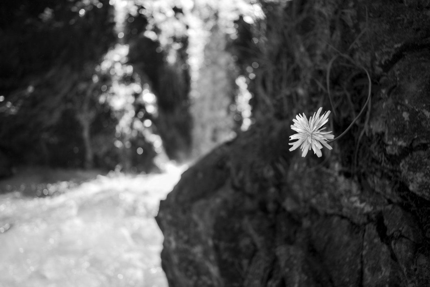 Dandelion_and_Cascade.jpg