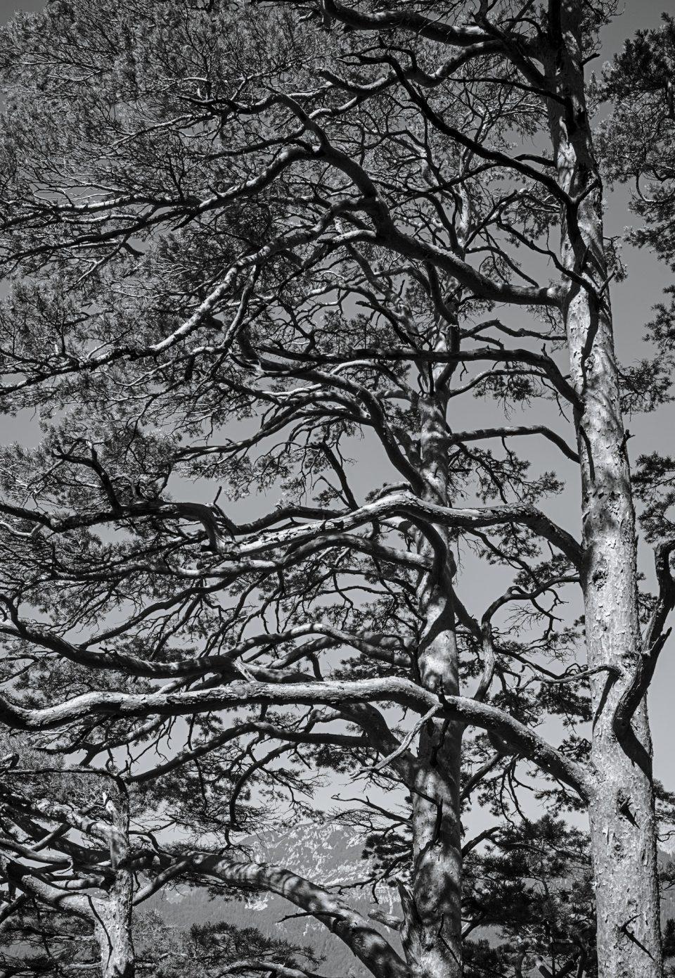 Oriented_Pines.jpg
