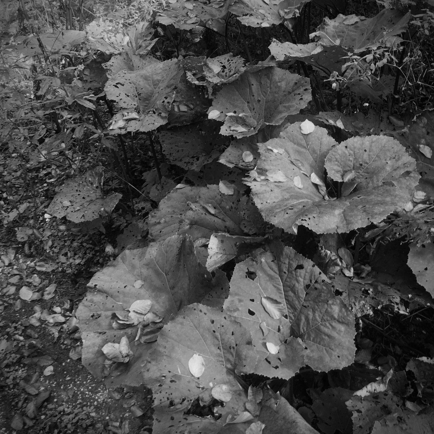 Butterbur_in_Fall.jpg